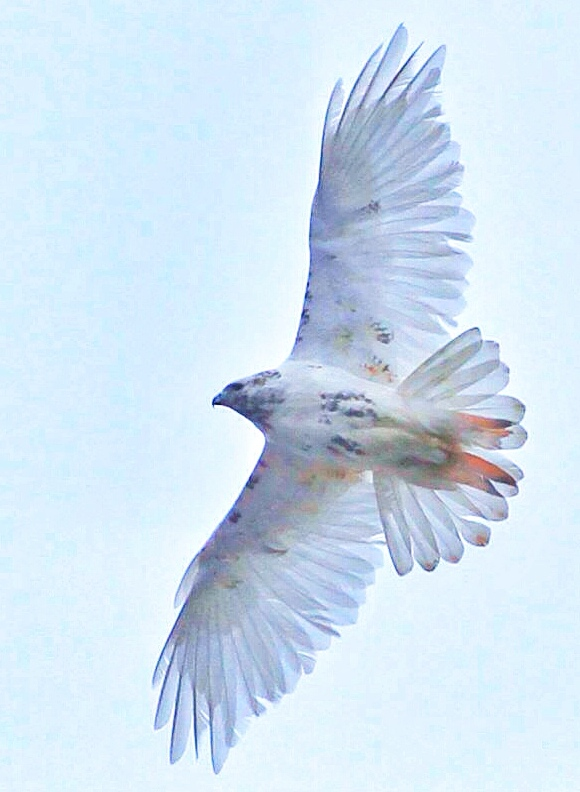 Leucistic (near-albino) Red-tail