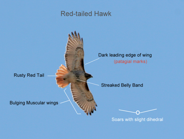 Diagram of the identifying characteristics of soaring Red-tailed Hawks