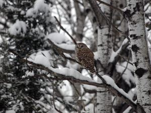 Barred-Owl---Sault-Sainte-Marie---2-23-2013---Web