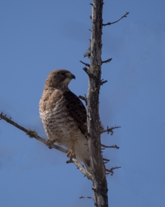 Broad-winged-Hawk---Whitefish-Point,-MI---4-28-2013---Web