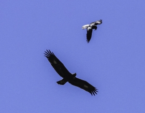 Golden Eagle and Raven