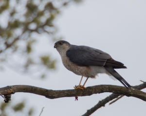 Sharp-shinned-Hawk---Whitefish-Point,-MI---4-27-2013---Web